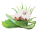 Aloe vera & květ bavlny
